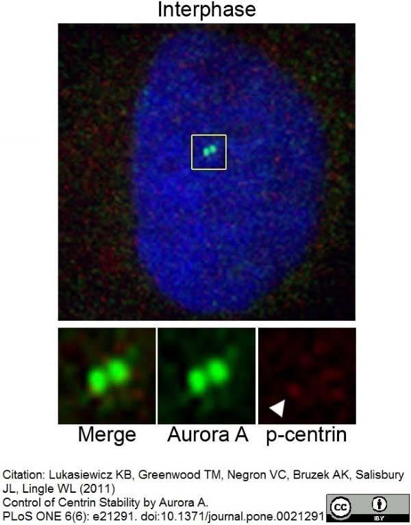 Anti Aurora-A Kinase Antibody, clone 35C1 thumbnail image 5