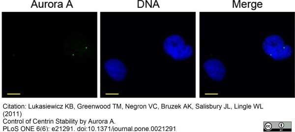 Anti Aurora-A Kinase Antibody, clone 35C1 thumbnail image 6