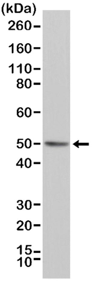 Anti BAG1 Antibody, clone RM310 thumbnail image 1