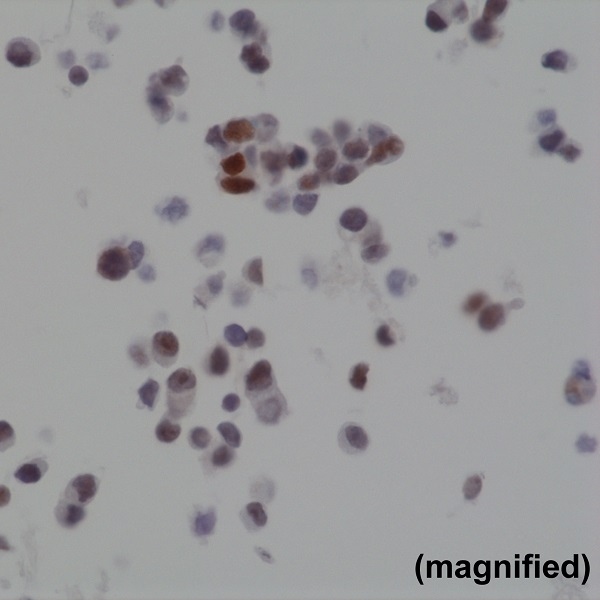 Anti BAG1 Antibody, clone RM310 thumbnail image 3