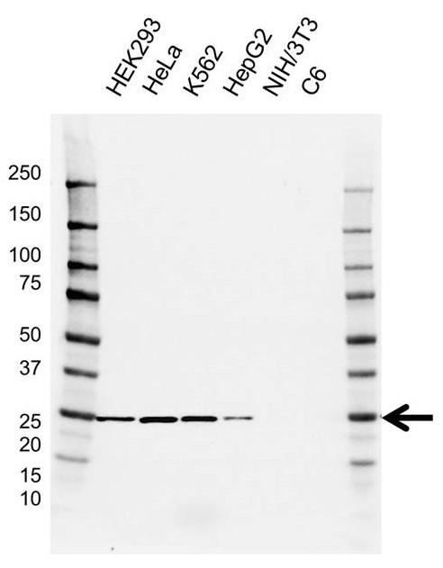 Anti BAG2 Antibody, clone AB01/3G9 (PrecisionAb Monoclonal Antibody) gallery image 1