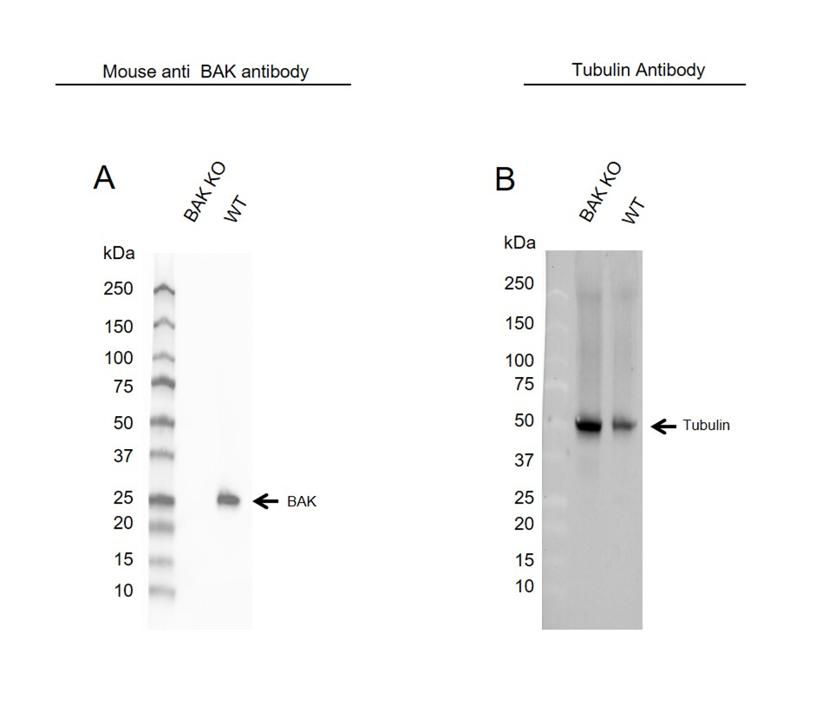 Anti BAK Antibody, clone AB04/1A2 (PrecisionAb Monoclonal Antibody) thumbnail image 2