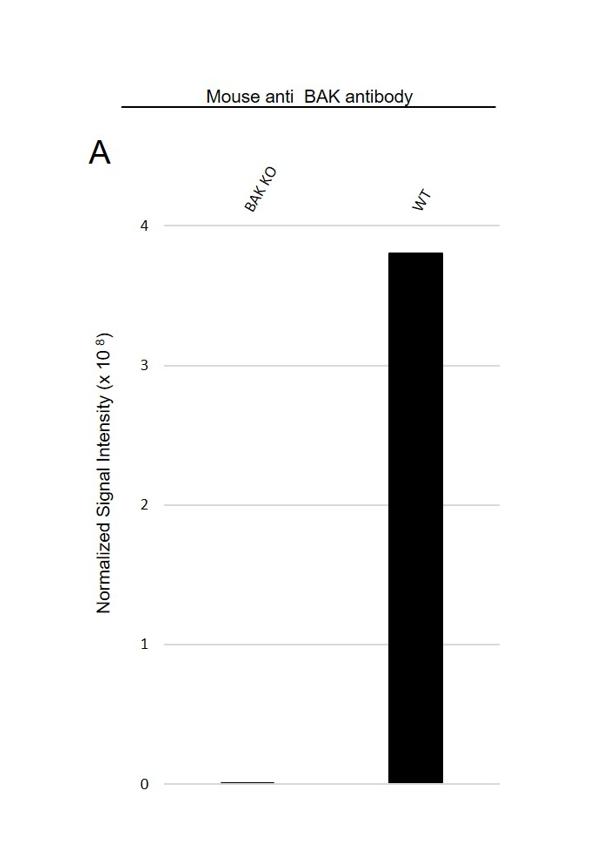 Anti BAK Antibody, clone AB04/1A2 (PrecisionAb Monoclonal Antibody) thumbnail image 3