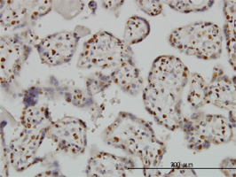 Anti Human BAX Antibody, clone 1F5-1B7 gallery image 1