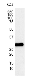 Anti Human Bcl-2 Antibody, clone 100 thumbnail image 2