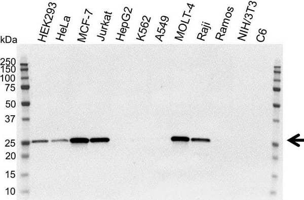 Anti Human Bcl-2 Antibody, clone 100 thumbnail image 6