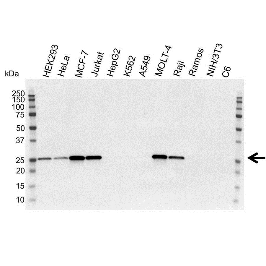 Anti Bcl-2 Antibody (PrecisionAb™ Monoclonal Antibody) thumbnail image 1