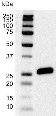 Anti Bcl-2 Antibody (PrecisionAb™ Monoclonal Antibody) thumbnail image 2