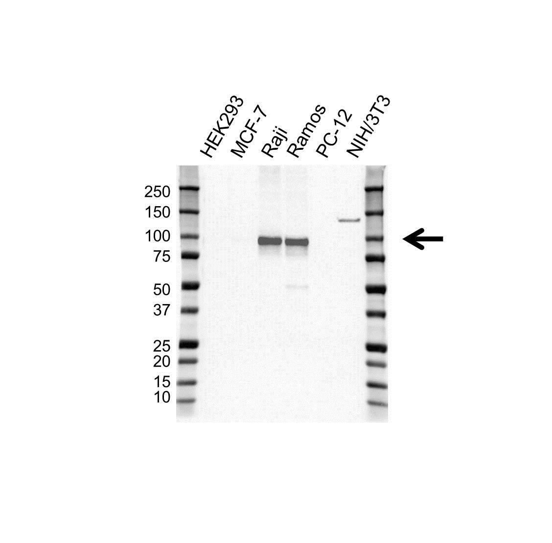 Anti Bcl-6 Antibody, clone OTI20A3 (PrecisionAb™ Monoclonal Antibody) gallery image 1