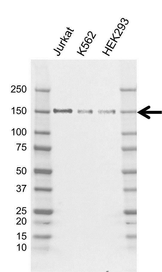 Anti BCLAF1 Antibody, clone AB02/2F2 (PrecisionAb Monoclonal Antibody) gallery image 1
