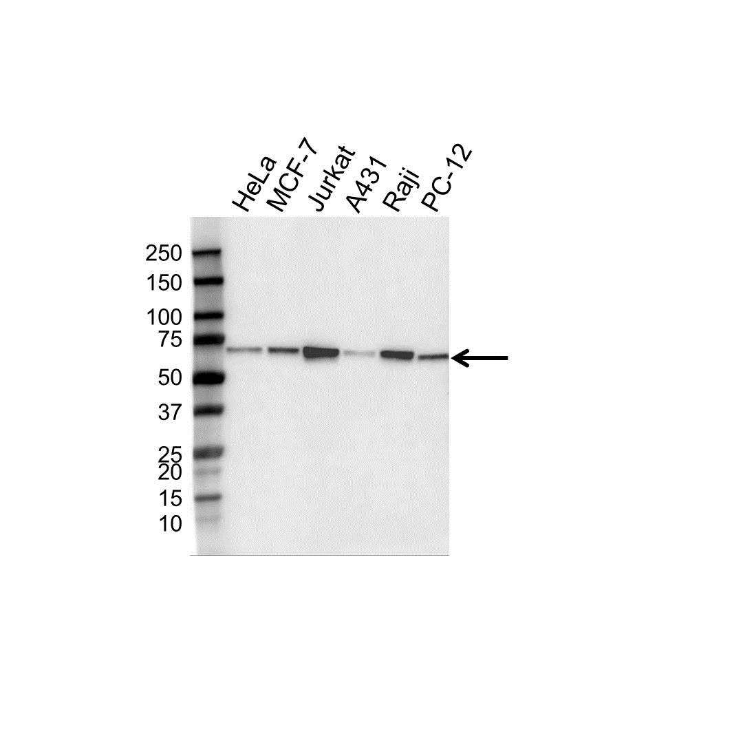 Anti Beclin 1 Antibody, clone OTI3F3 (PrecisionAb™ Monoclonal Antibody) gallery image 1