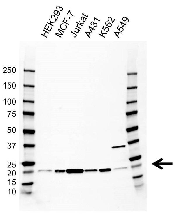 Anti BID Antibody, clone CD01/1H1 (PrecisionAb Monoclonal Antibody) gallery image 1