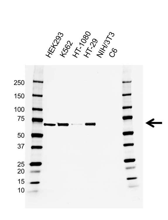 Anti BIRC2 Antibody, clone AB01/3B4 (PrecisionAb™ Monoclonal Antibody) gallery image 1