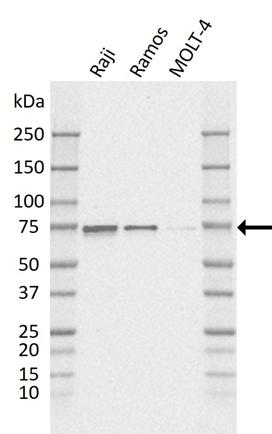 Anti BIRC3 Antibody, clone K01/2A8 gallery image 1