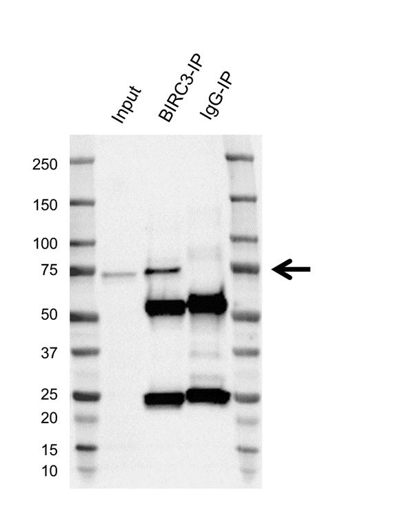 Anti BIRC3 Antibody, clone K01/2A8 thumbnail image 2
