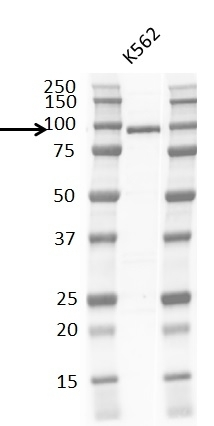 Anti Braf Antibody, clone RM308 thumbnail image 3