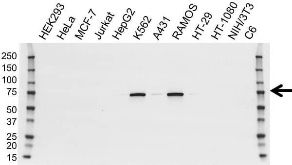 Anti BTK Antibody, clone OTI12D4 (PrecisionAb Monoclonal Antibody) gallery image 1