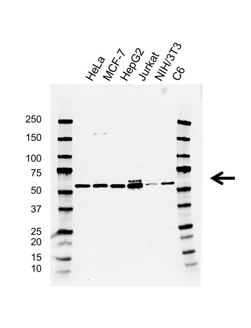 Anti Btrc Antibody, clone AB02/4E2 (PrecisionAb™ Monoclonal Antibody) gallery image 1