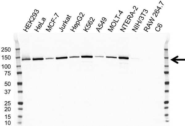 Anti BUB1B Antibody, clone OTI5D9 (PrecisionAb Monoclonal Antibody) gallery image 1