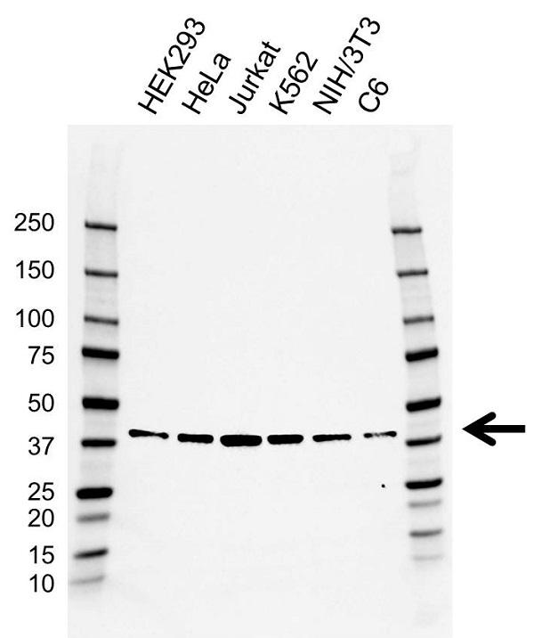 Anti BUB3 Antibody, clone AB03/4E7-5 (PrecisionAb Monoclonal Antibody) gallery image 1