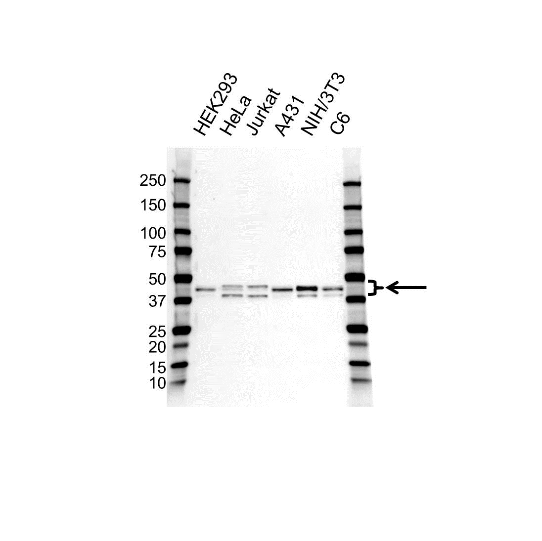 Anti c-Jun Antibody, clone OTI2A9 (PrecisionAb Monoclonal Antibody) gallery image 1