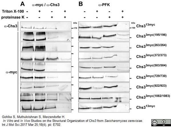Anti c-Myc Antibody, clone 9E10 thumbnail image 4