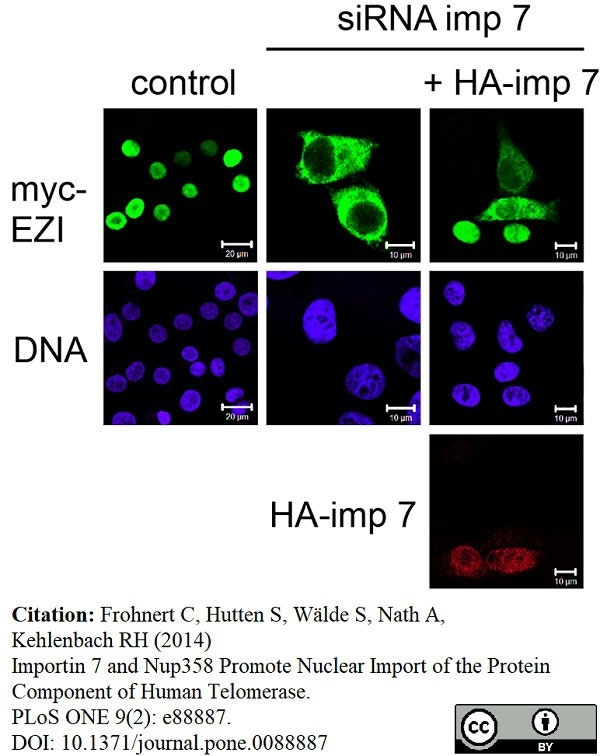 Anti c-Myc Antibody, clone 9E10 thumbnail image 7