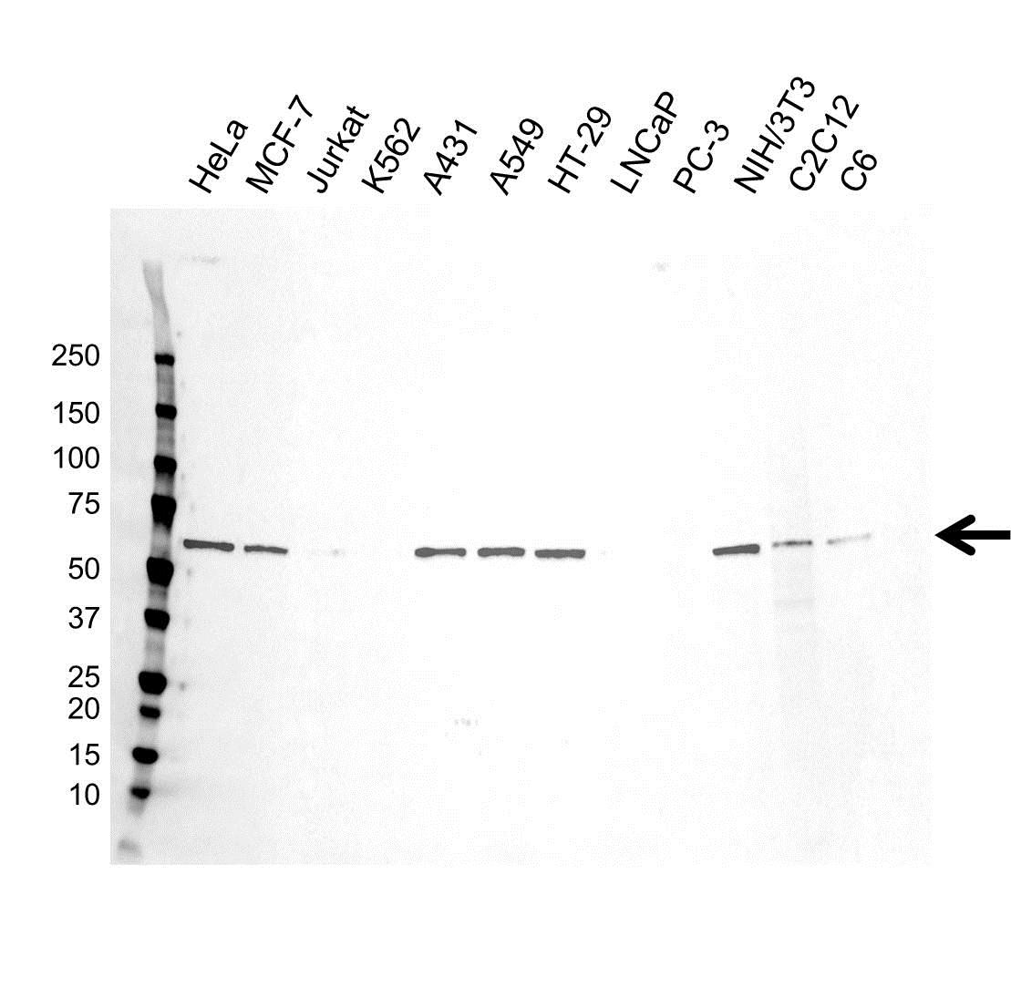 Anti c-Myc Antibody (PrecisionAb™ Monoclonal Antibody) gallery image 1
