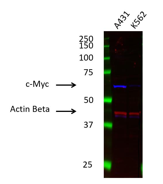 Anti c-Myc Antibody (PrecisionAb Monoclonal Antibody) thumbnail image 1
