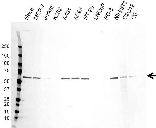 Anti c-Myc Antibody (PrecisionAb Monoclonal Antibody) thumbnail image 2