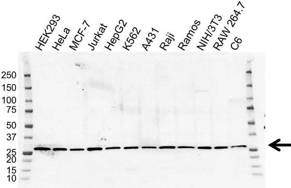 Anti C14orf166 Antibody, clone OTI2A4 (PrecisionAb Monoclonal Antibody) gallery image 1
