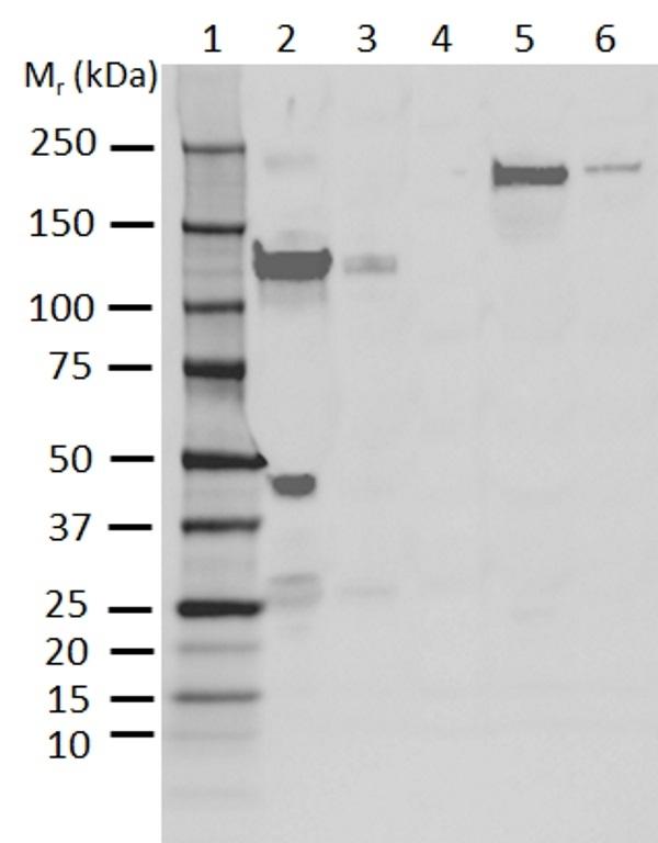 Anti Human C3 Antibody, clone AB01-3B4 gallery image 1