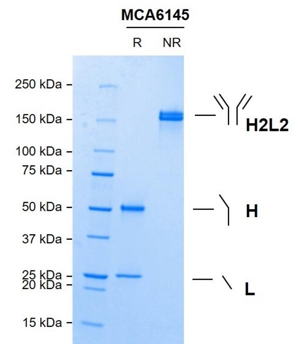 Anti C5 (Eculizumab Biosimilar) Antibody, clone h5G1.1 thumbnail image 1