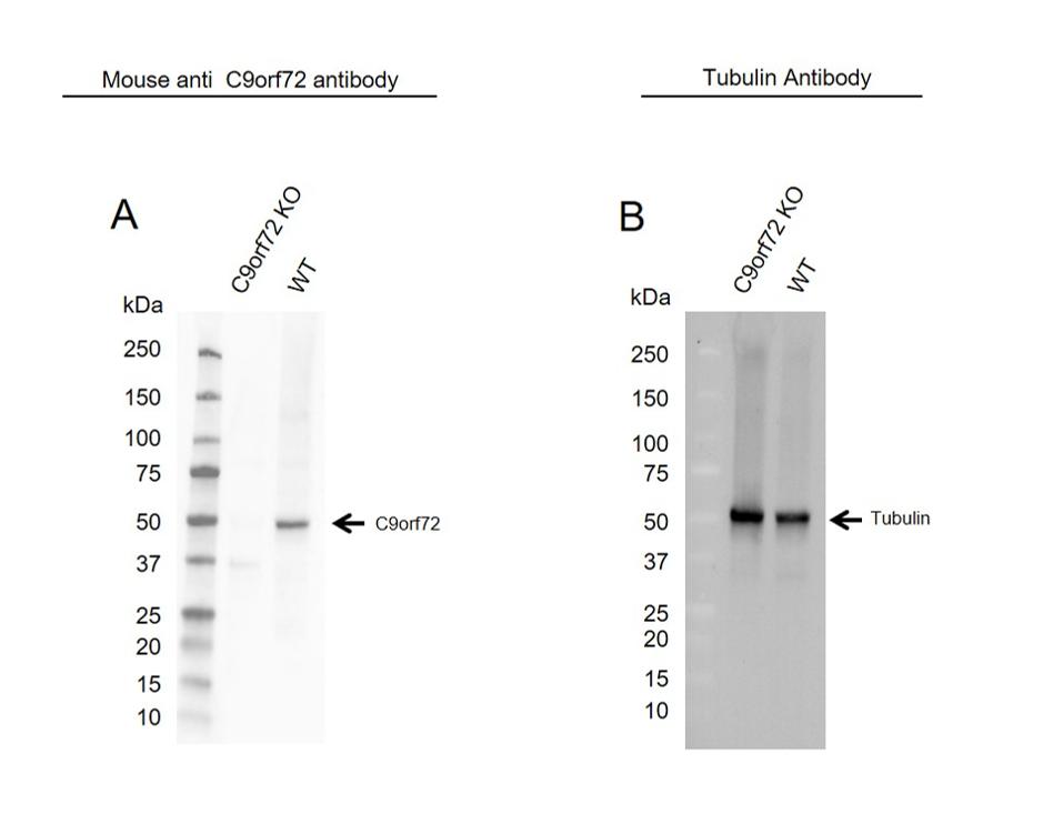 Anti C9orf72 Antibody, clone B01-5F2 (PrecisionAb Monoclonal Antibody) thumbnail image 2