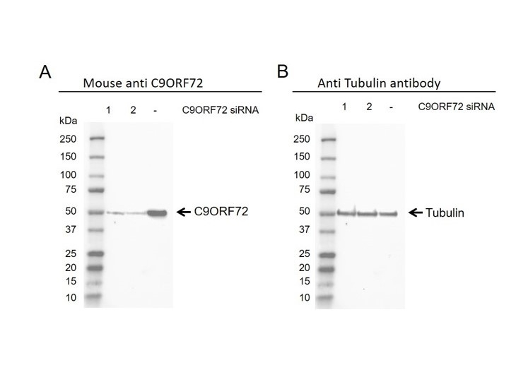 Anti C9orf72 Antibody, clone B01-5F2 (PrecisionAb Monoclonal Antibody) thumbnail image 4