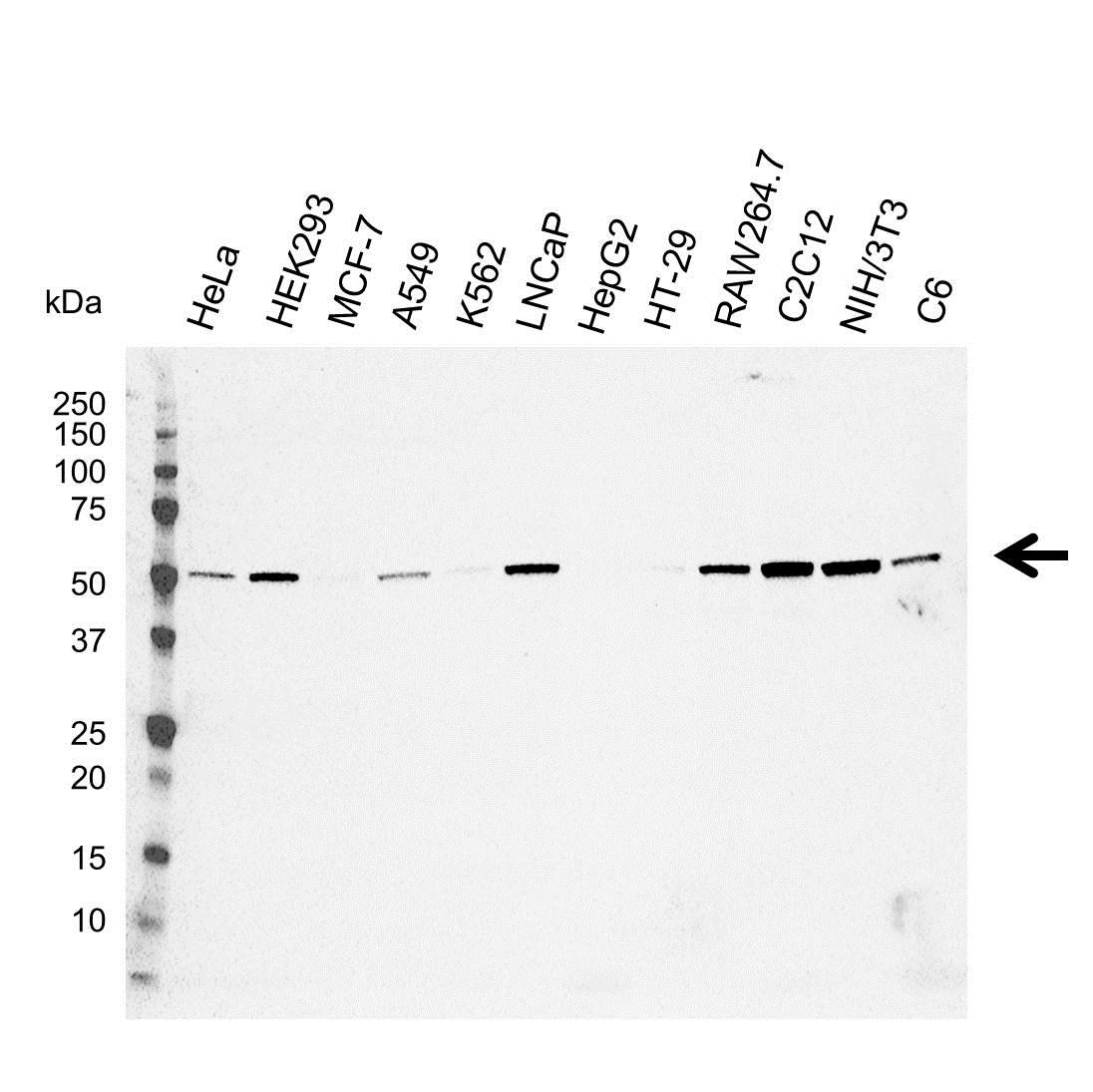 Anti C9orf72 Antibody (PrecisionAb Monoclonal Antibody) gallery image 1