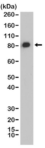 Anti CALD1 Antibody, clone RM396 thumbnail image 1