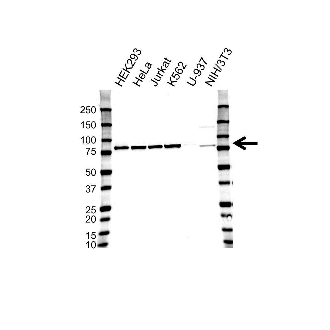 Anti CALPAIN-1 Antibody (PrecisionAb™ Monoclonal Antibody) gallery image 1