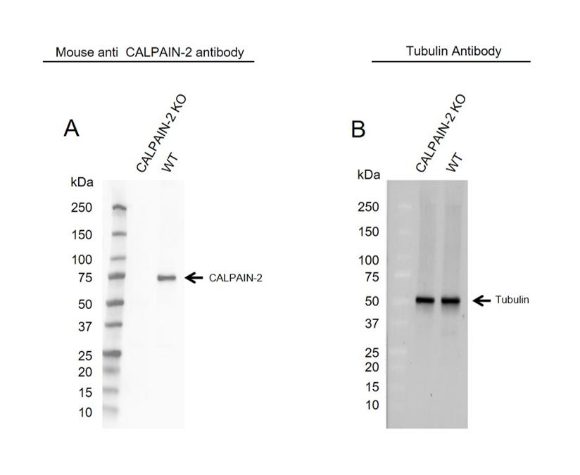 Anti CALPAIN-2 Antibody, clone OTI3G1 (PrecisionAb Monoclonal Antibody) thumbnail image 1