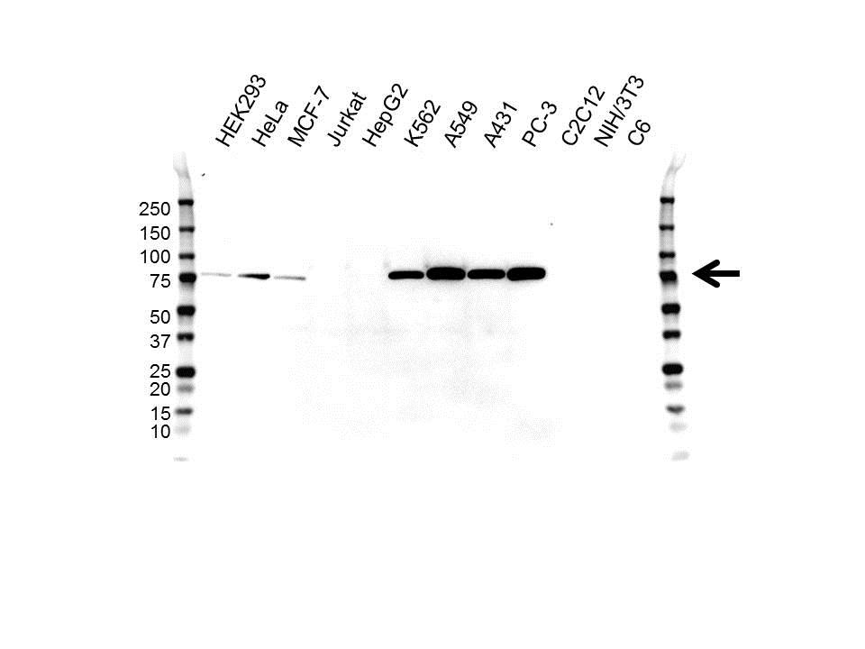 Anti CALPAIN-2 Antibody, clone OTI3G1 (PrecisionAb™ Monoclonal Antibody) gallery image 1