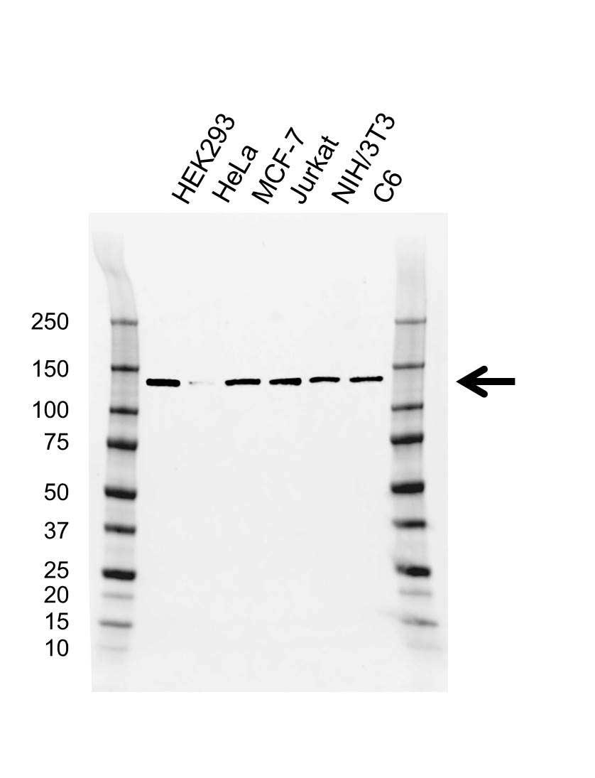 Anti CAND1 Antibody, clone CD01/4H2 (PrecisionAb™ Monoclonal Antibody) gallery image 1