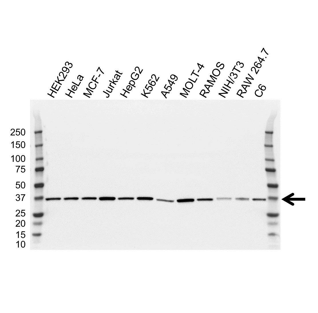 Anti CAPZA1 Antibody, clone OTI2G4 (PrecisionAb™ Monoclonal Antibody) gallery image 1