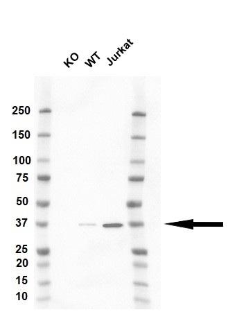 Anti CAPZA1 Antibody, clone OTI2G4 (PrecisionAb Monoclonal Antibody) thumbnail image 1