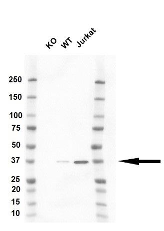 Anti CAPZA1 Antibody, clone OTI2G4 (PrecisionAb™ Monoclonal Antibody) thumbnail image 2