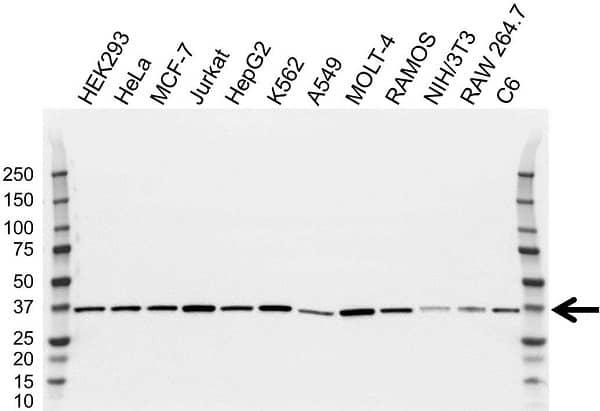 Anti CAPZA1 Antibody, clone OTI2G4 (PrecisionAb Monoclonal Antibody) thumbnail image 2