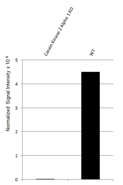 Anti Casein Kinase 2 Alpha 1 Antibody, clone AbD22725.1 (PrecisionAb Monoclonal Antibody) thumbnail image 2