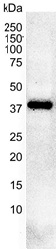 Anti Casein Kinase 2 Alpha 1 Antibody, clone AbD05928 thumbnail image 2