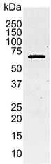 Anti Human Caspase-8 Antibody, clone 4-1-20 gallery image 1