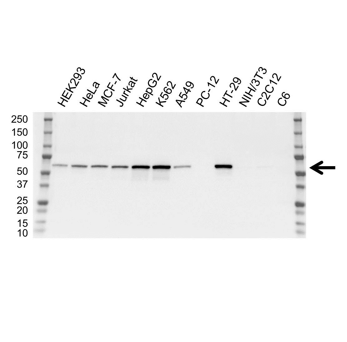 Anti Catalase Antibody, clone OTI1B6 (PrecisionAb Monoclonal Antibody) gallery image 1