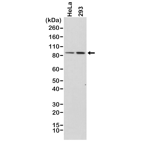 Anti Catenin Beta 1 Antibody, clone RM276 thumbnail image 1